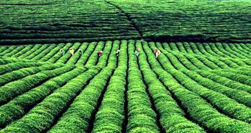 普洱茶的产地图片