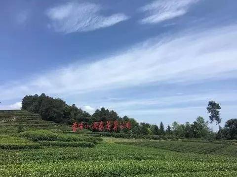 """""""三苏父子""""与蒙顶山茶图片"""