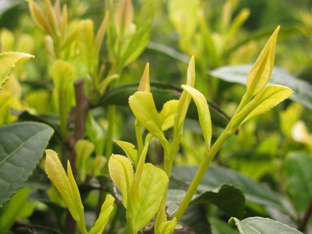 """""""承艺茗茶"""":失误发现的黄茶,专心创新的乌龙茶是怎样出现的?"""