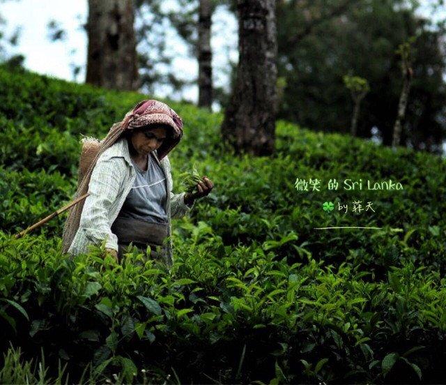 熟悉而陌生的锡兰红茶图片