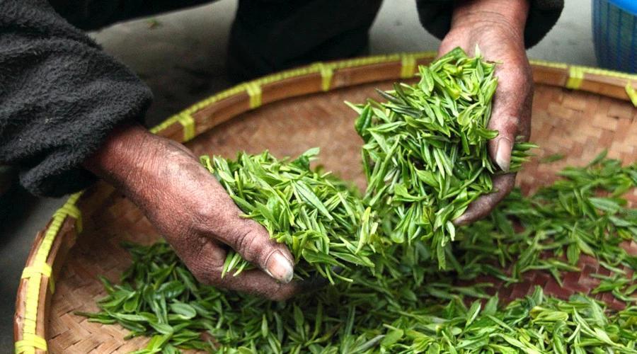 喝茶不能将就,选对茶叶是关键!图片