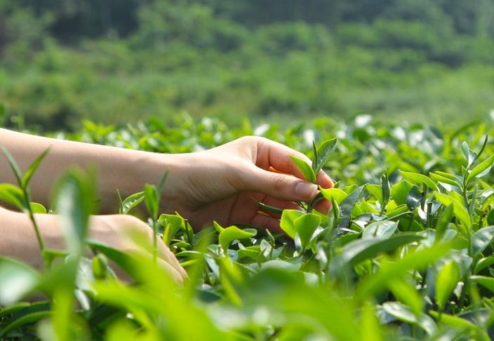 看完十大名茶,才知道安徽有多厉害!图片