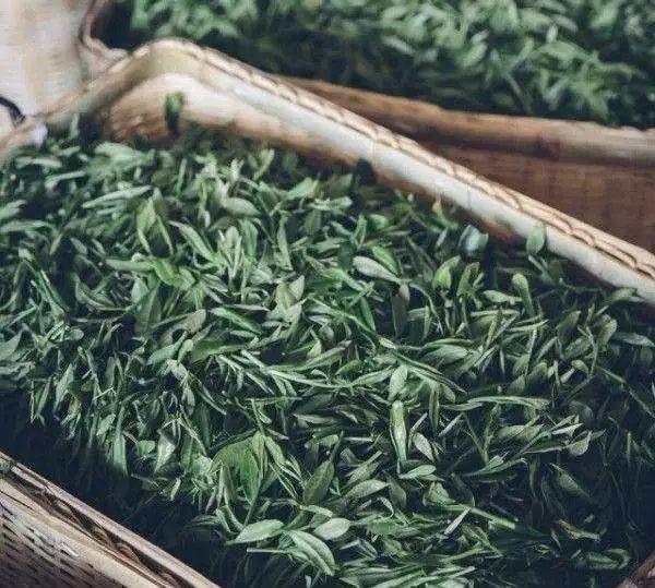 一文讲解:福鼎白茶和政和白茶的区别!