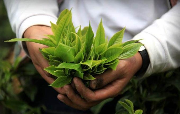 中国三大主流红茶,都喝过吗,懂得鉴别才是红茶高手