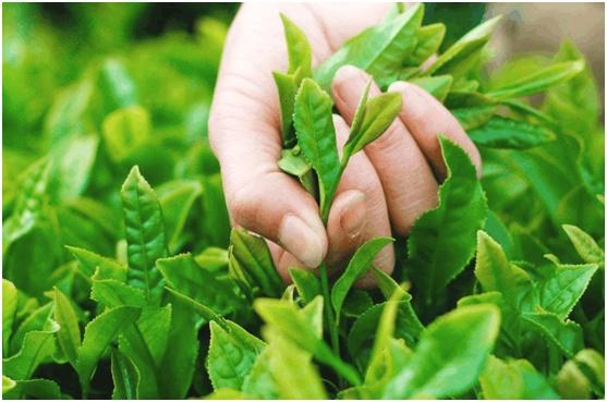 中国最出名的三种茶叶, 产地全国闻名, 是你的家乡吗?图片