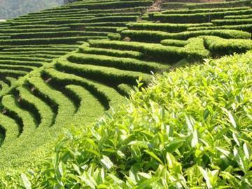 为什么古代只有四川人才饮茶?与茶的一个特殊功效有关