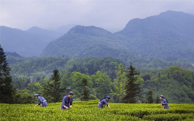 中国茶叶品种分布 四川、湖南、湖北三省